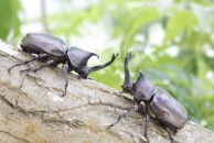 【TABICA】カブトムシの幼虫探しと田舎飯を楽しもう!