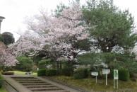 開花状況のお知らせ(3月30日)