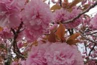 八重桜が満開です❗