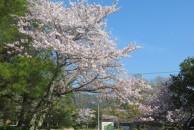開花状況のご案内(4月4日・桜 満開!!)