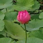 多久聖光寺二千年ハス開花のお知らせ