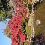 西渓公園紅葉④