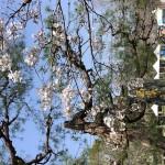 桜シーズンに西渓公園で物販を行います。